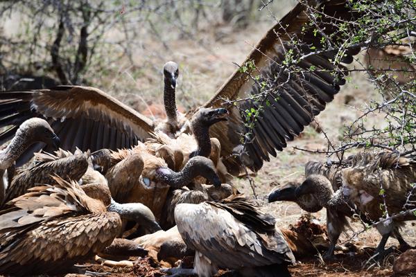 死んだインパラに群がるコシジロハゲワシ。<br>ボツワナ、マシャトゥ動物保護区