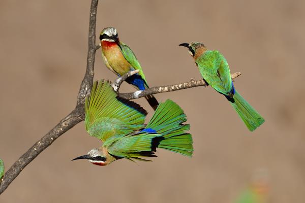 枝を飛び立つシロビタイハチクイ。<br>ボツワナ、マシャトゥ動物保護区