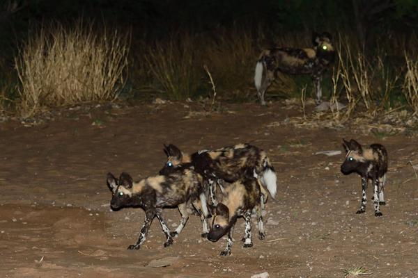 明け方3時にキャンプ場にやってきたリカオンの群れ。絶滅危惧種のイヌ科肉食獣だ。<br>ボツワナ、クッツェ動物保護区。