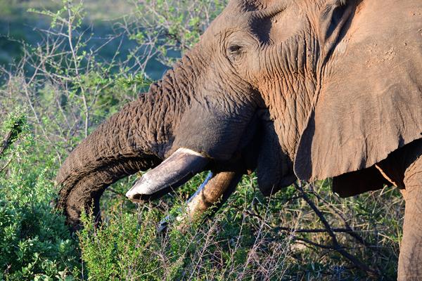 木の葉を食べるオスのアフリカゾウ。象牙目当ての密猟が増えたことで、サイほどではないものの、個体数の減少が続いている。<br>南アフリカ、ピランズバーグ国立公園。