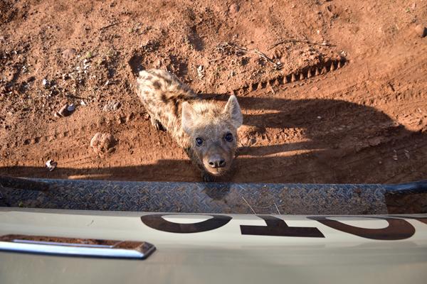 車までやってきた好奇心旺盛なブチハイエナの子供。常に幅広い画角をカバーできるように機材を準備しておいたことで撮れた一枚。<br>ボツワナ、マシャトゥ動物保護区。