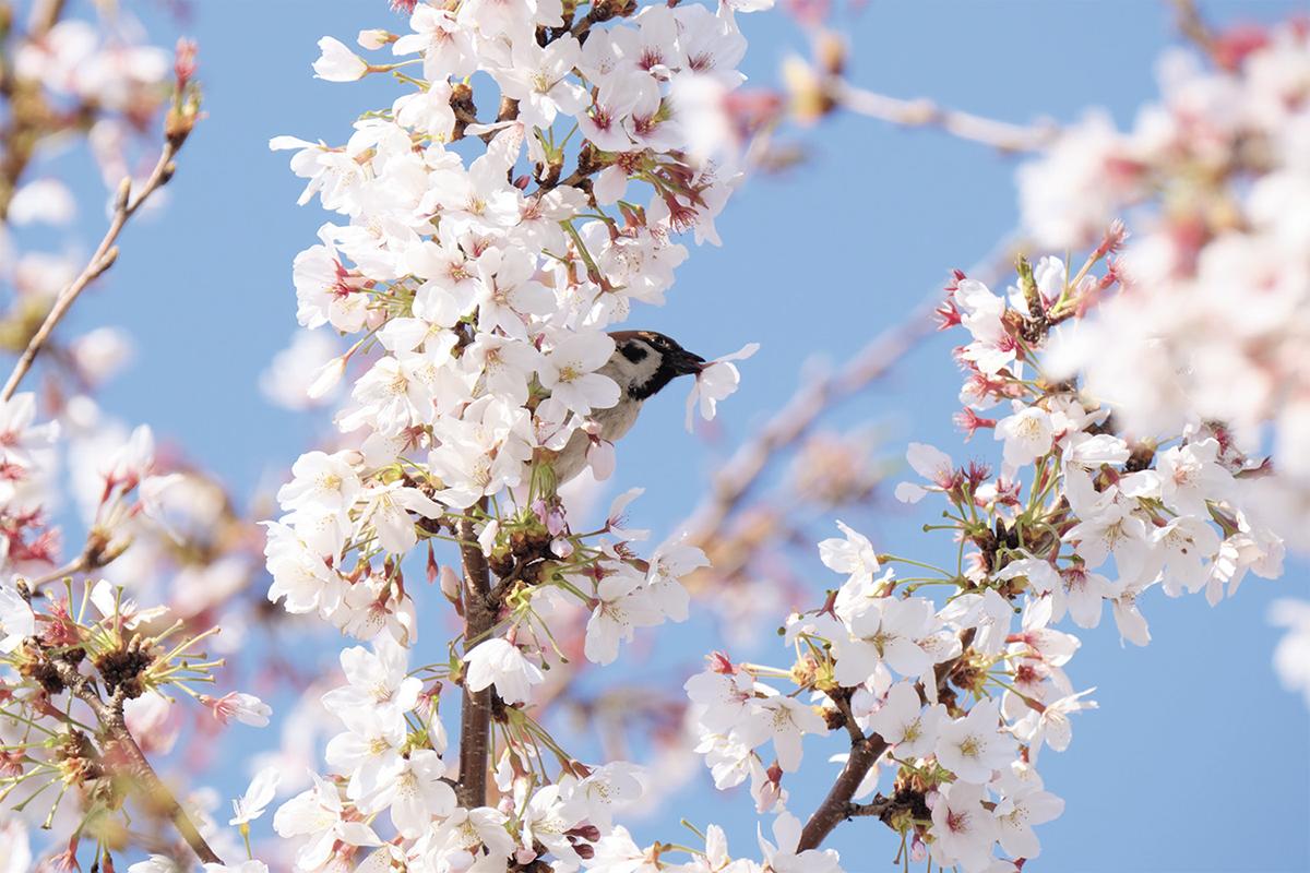 桜の花をついばむスズメ。ちょこちょこと動き回る姿が可愛らしい。