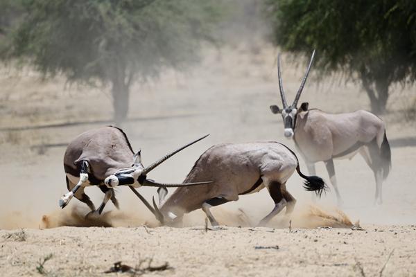 白昼の砂漠で格闘するオリックス。<br>南アフリカ、カラハリ・トランスフロンティアパーク