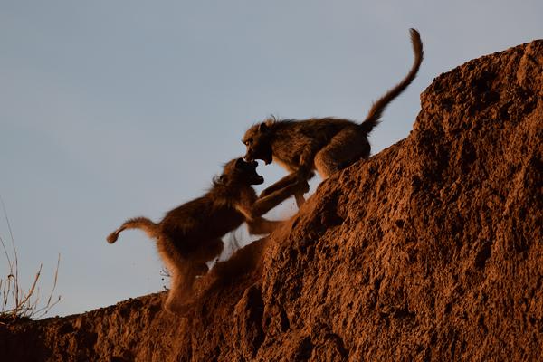 川辺の崖で争うチャクマヒヒ。<br>ボツワナ、マシャトゥ動物保護区