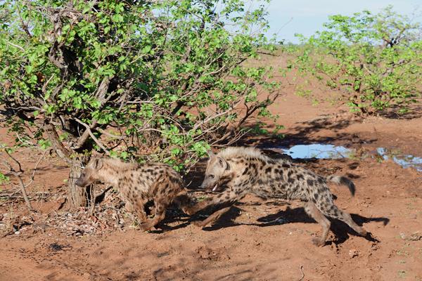 追いかけっこをするブチハイエナの子供。<br>ボツワナ、マシャトゥ動物保護区