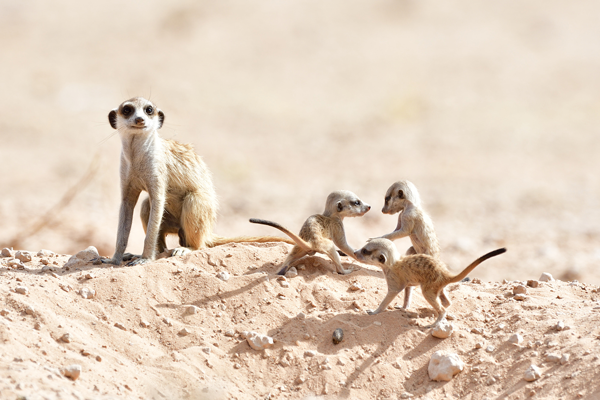 巣穴の外に出てきたミーアキャットの子供たちとベビーシッター役の若いオス。彼らはカラハリ砂漠を代表する動物だ。<br>南アフリカ、カラハリ・トランスフロンティアパーク
