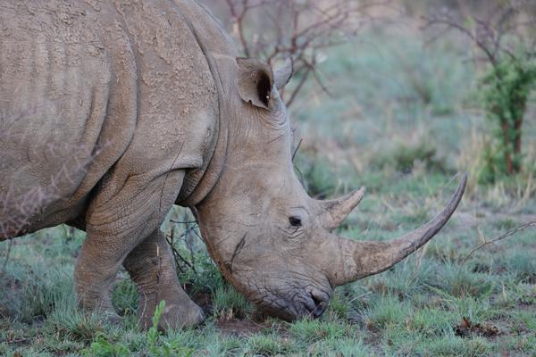 日没後、草を食べるシロサイ。角を目当てとした密猟により急激にその数が減ってしまっている絶滅危惧種。<br>南アフリカ、ピランズバーグ国立公園。