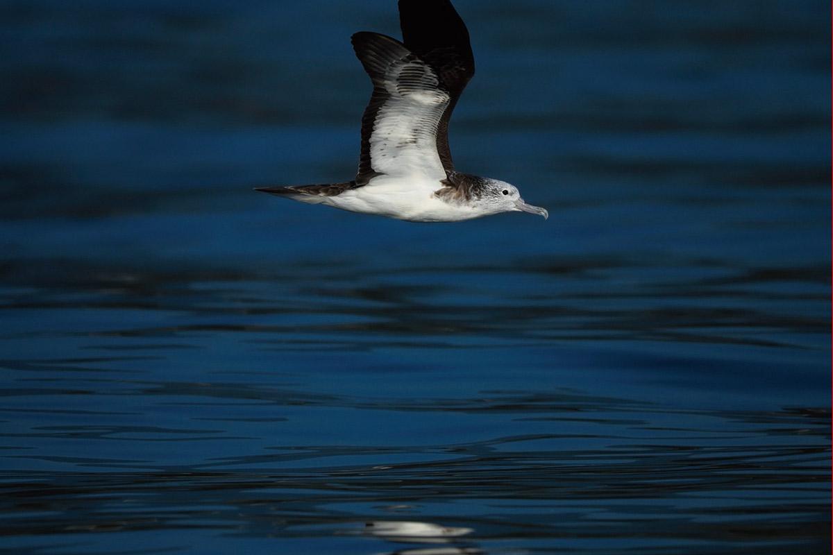 小船から撮影したオオミズナギドリ。見事に凪いだ海面を、滑るように飛んでいく。